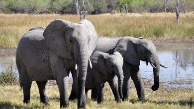 Foto de una familia de paquidermos que muestra lo que es soñar con elefantes