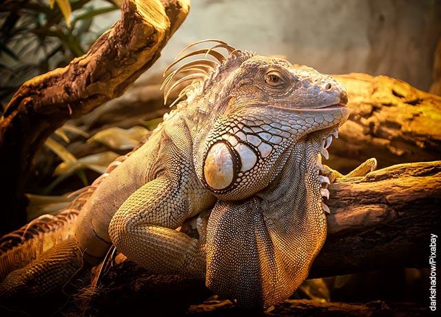 Foto de un reptil amarillo que muestra lo que es soñar con lagartos