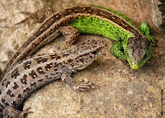 Foto de dos lagartijas que muestran lo que es soñar con lagartos