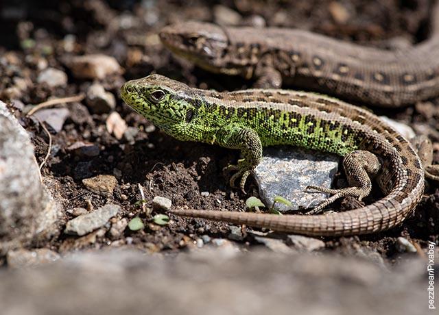 Foto de una pequeña lagartija sobre la tierra