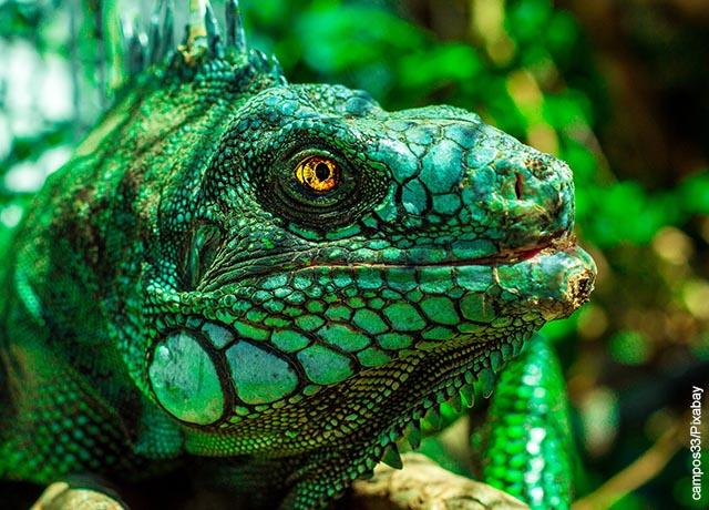 Foto de la cara de un lagarto verde