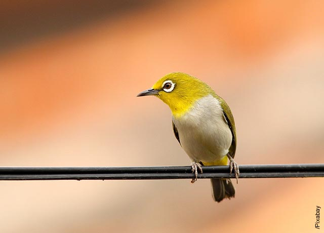 Foto de un pajarito amarillo sobre un alambre