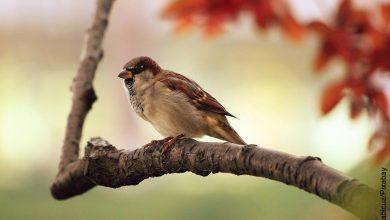 Foto de un gorrión café que ilustra lo que es soñar con pájaros