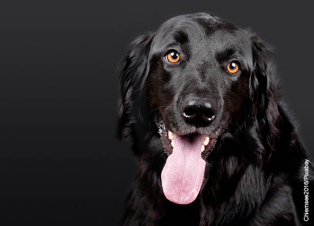 Foto de un canino negro con su lengua afuera que muestra lo que es soñar con perros