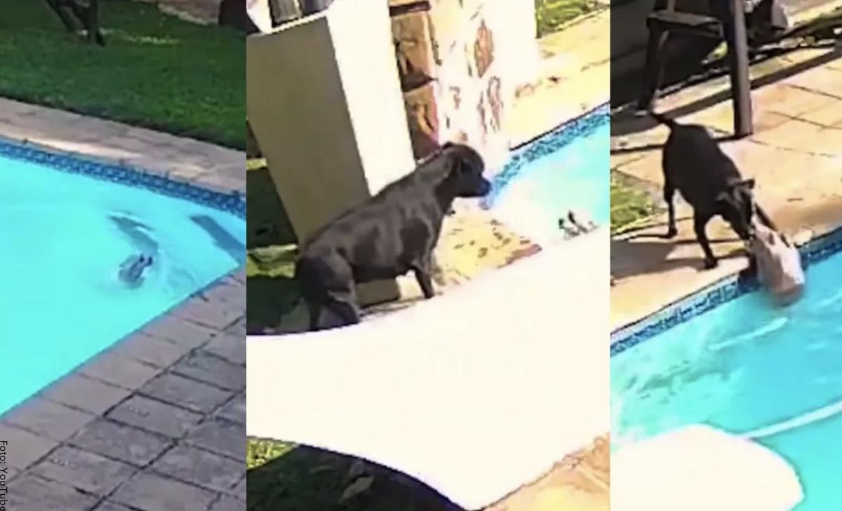 Perrito rescató a su amigo de ahogarse en la piscina