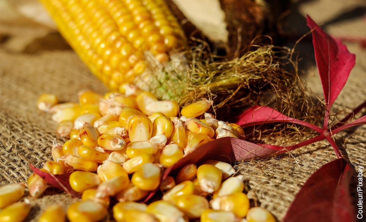 Foto de mazorcas que ilustran las recetas con maíz