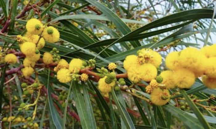 Foto de planta de acacia