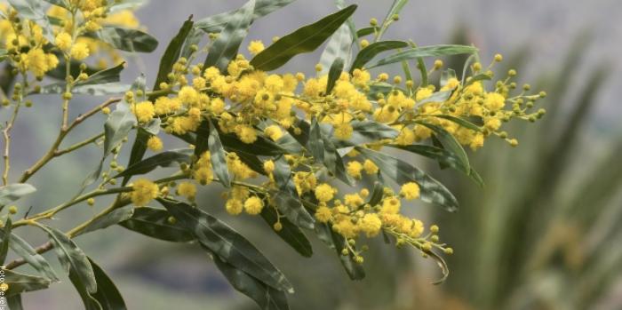Foto de plantas de acacia