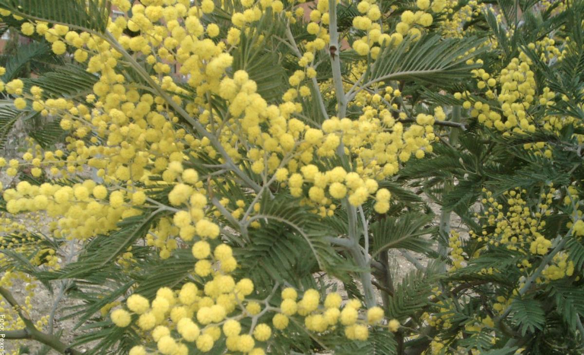 Acacia, ¿para qué sirve esta planta medicinal?