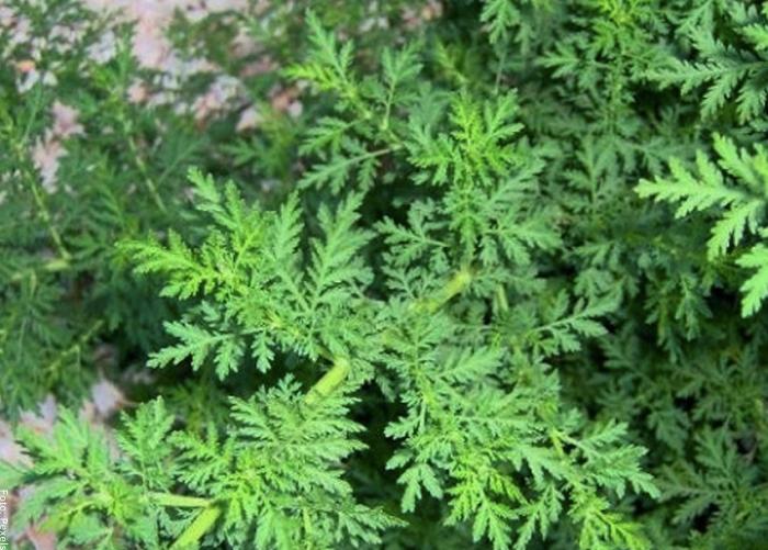 Foto de una planta de altamisa