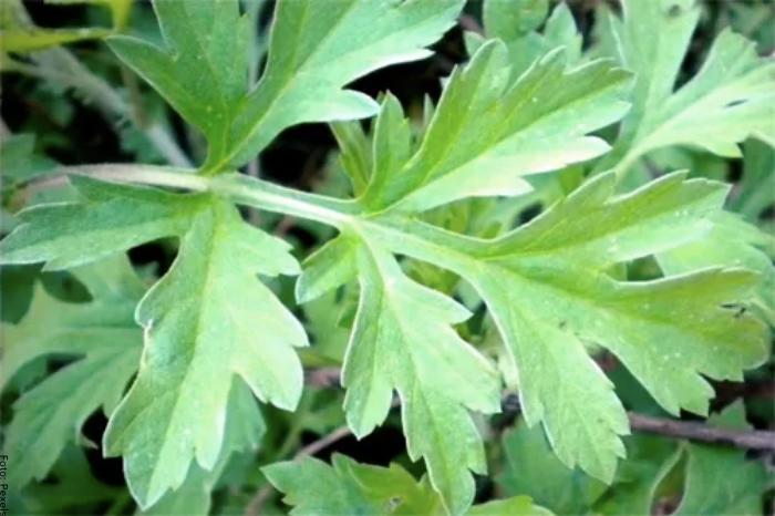 Foto de hojas de altamisa