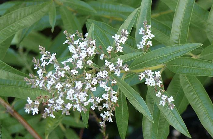 Foto de las flores de cedrón