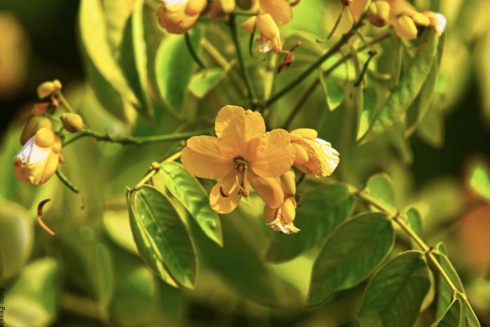 Foto de flores de sen