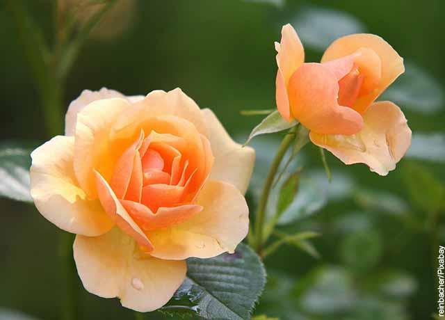 Foto de rosas de color naranja