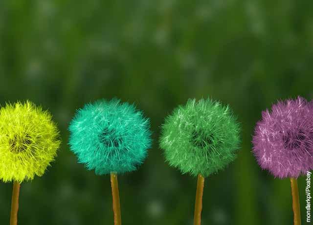 Foto de cuatro flores de diente de león de diferentes colores