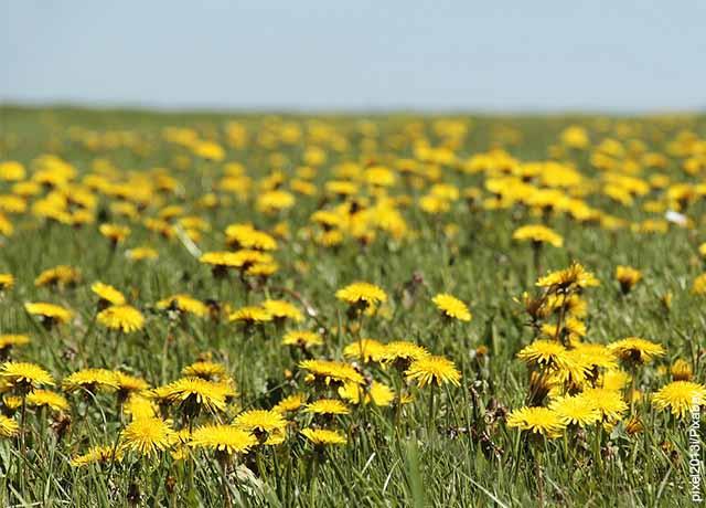Foto de un campo de plantas amarillas