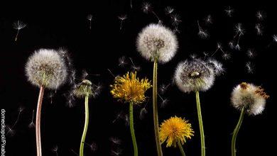 Foto de los tallos y las flores de plantas que muestra para qué sirve el diente de león