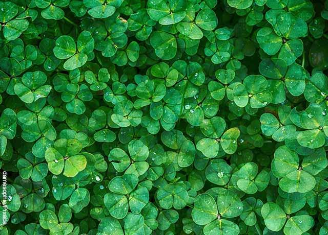 Foto de tréboles verdes que muestra para qué sirve el potasio
