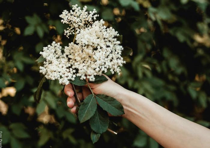 Foto de una persona sosteniendo flores de sauco