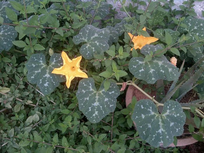 Foto de hojas de auyama
