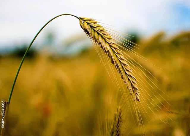 Foto de un trigo