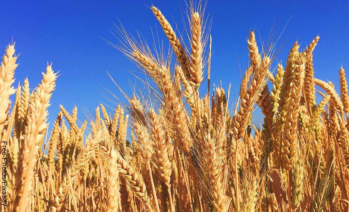 Foto de un sembrado de trigo que muestra para qué sirve la cebada