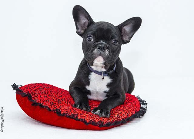 Foto de un perrito cachorro negro acostado sobre una almohada