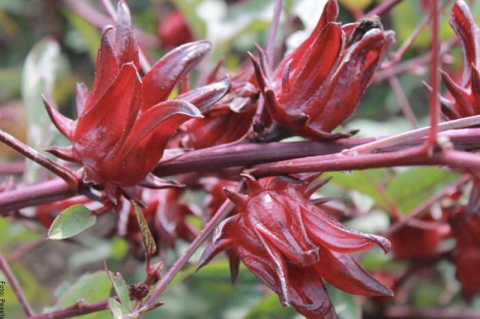 Foto de la planta flor de jamaica