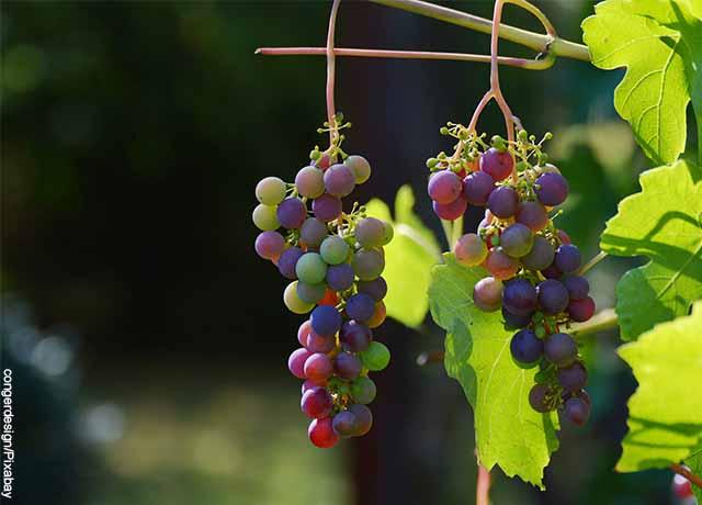 Foto de dos racimos de uva colgadas a hojas
