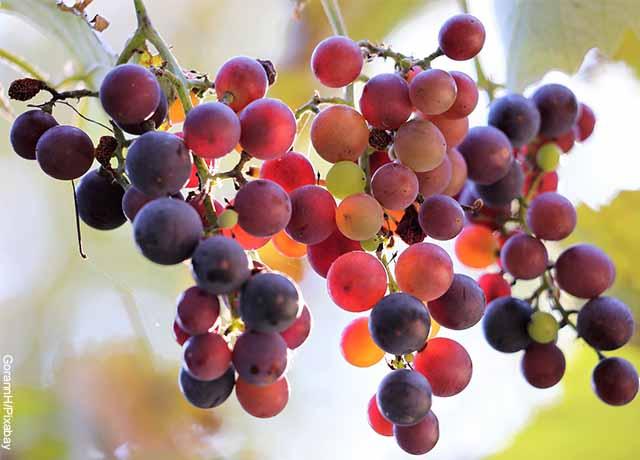 Foto de varias uvas colgadas a una rama que muestran para qué sirve la uva