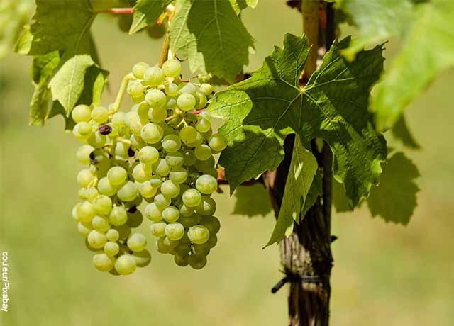 Foto de varias uvas verdes
