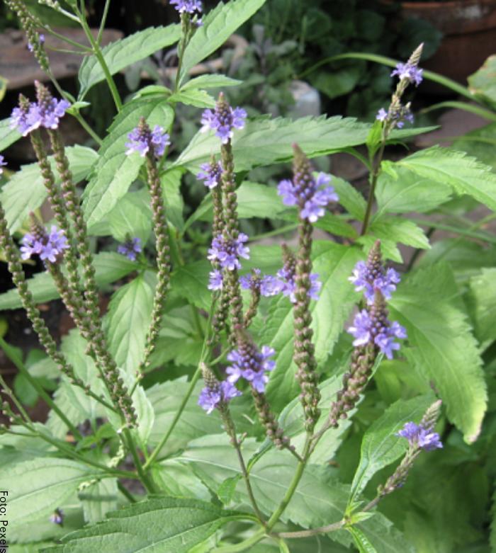 Foto de planta
