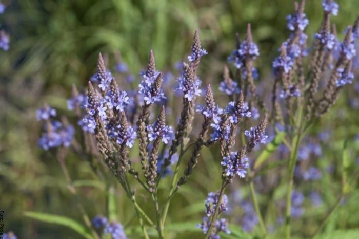 Foto de flores de verbena