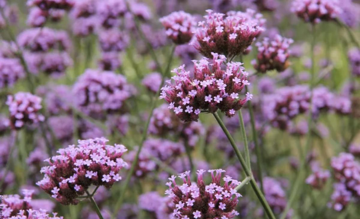Para qué sirve la verbena, planta medicinal conocida por sus propiedades
