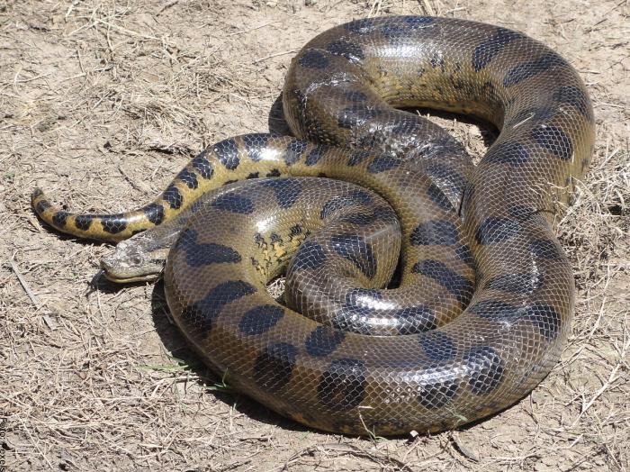 Foto de una anaconda muy grande