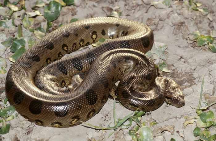 Foto de una serpiente muy grande