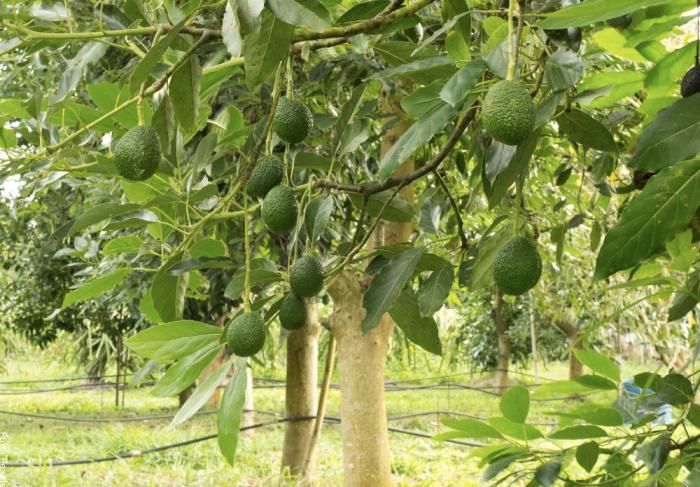 Foto de árbol de aguacate