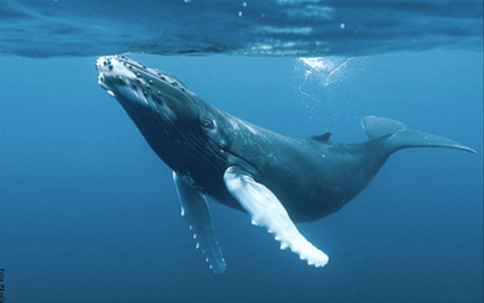 Foto de una ballena nadando tranquila