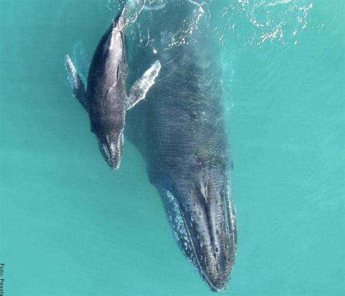 Foto de una ballena bebé