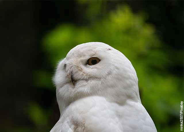 Foto de un búho blanco parado