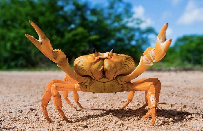Foto de un cangrejo amarillo