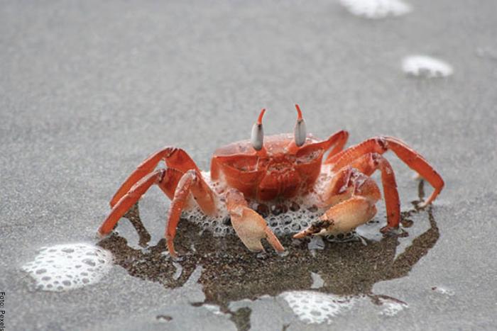 Foto de un cangrejo rojo
