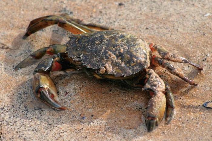 Foto de un cangrejo grande