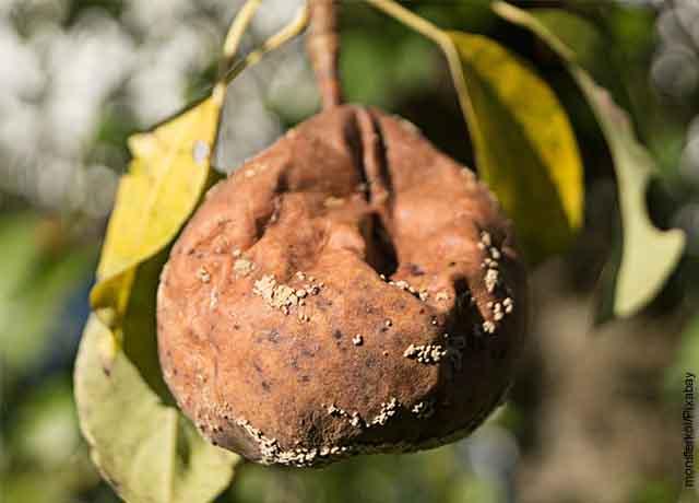 Foto de una pera podrida que revela lo que es soñar con frutas
