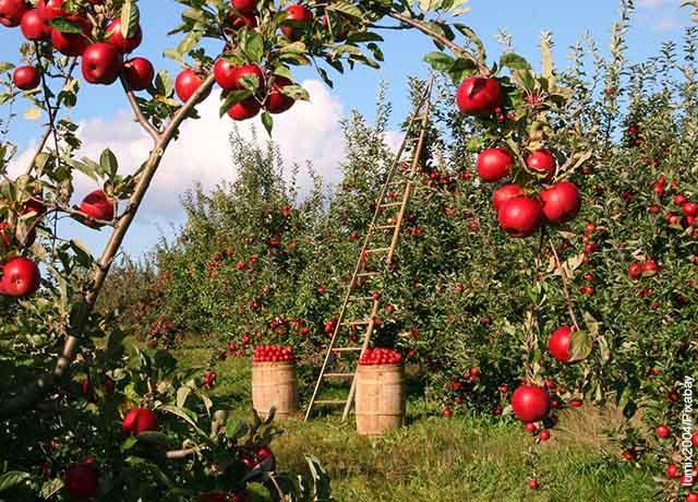 Foto de manzanas colgadas en los árboles que muestra lo que es soñar con frutas