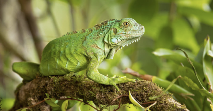 Foto de una iguana verde
