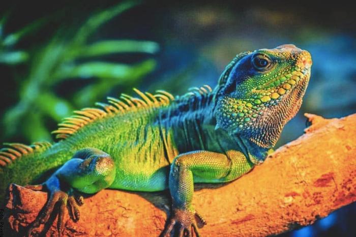 Foto de una iguana