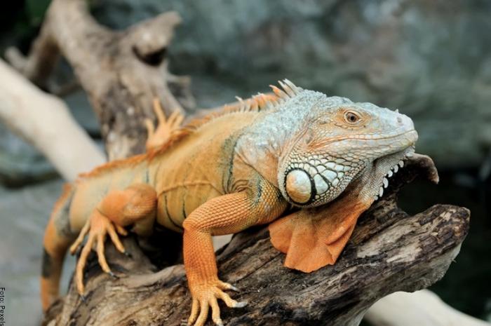 Foto de una iguana grande