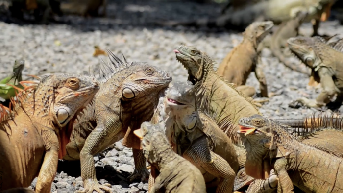 Foto de muchas iguanas