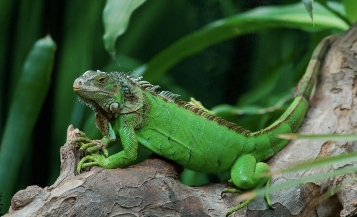 Soñar con iguanas, ¡es tu momento de vivir en paz!